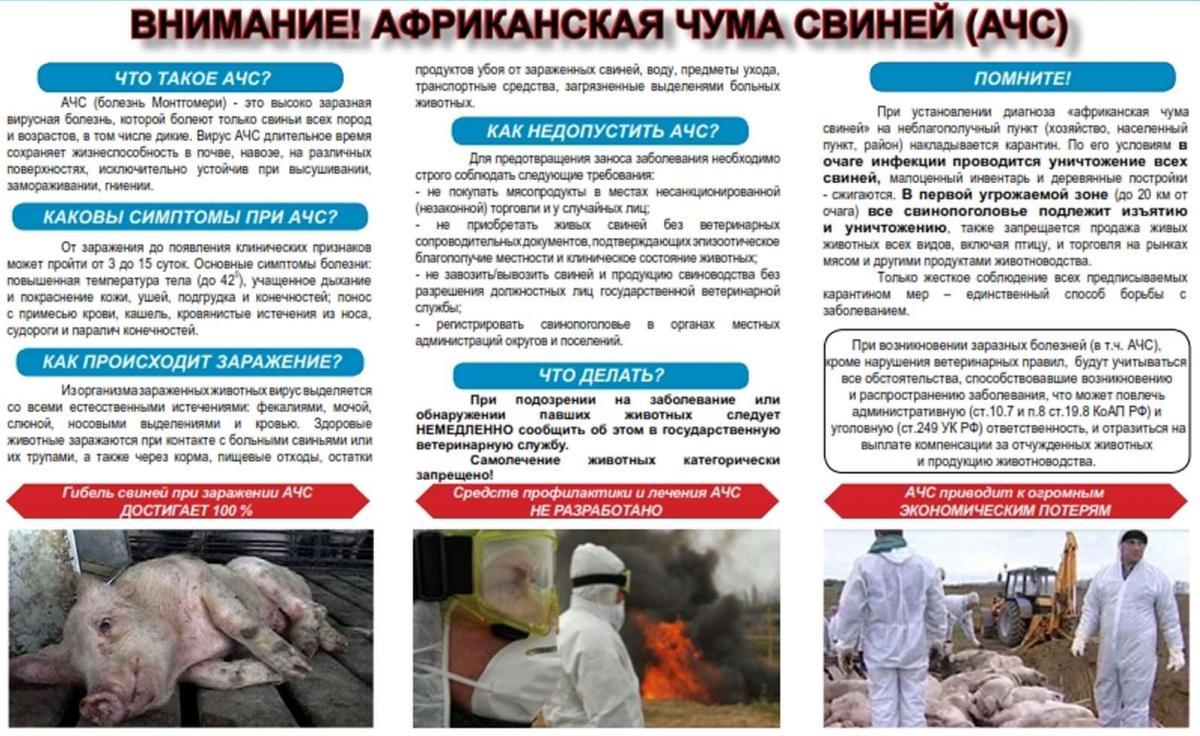 В россии вирус африканской чумы свиней (ачс) регистрируется с 2007 года